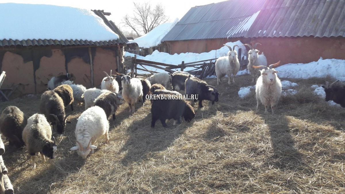 Февраль-март - время чесать коз