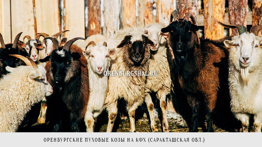 Настоящие Оренбургские козы