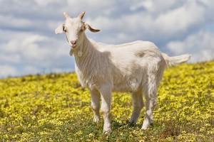 1752 domestic goat kid in capeweed - Народный промысел оренбургской области