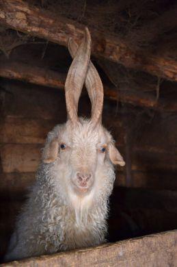 пуховая коза