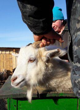 Так чешут Оренбургских коз