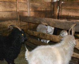 Серые и белые Оренбургские козы