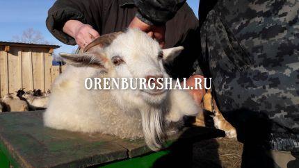 ческа коз