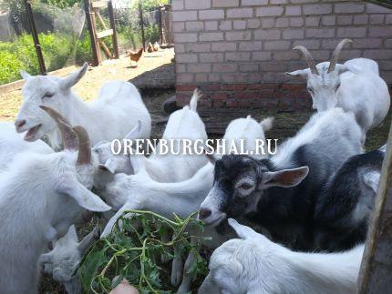 пуховые козы оренбург