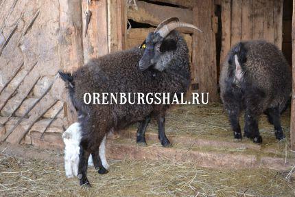 пуховые козы оренбурга